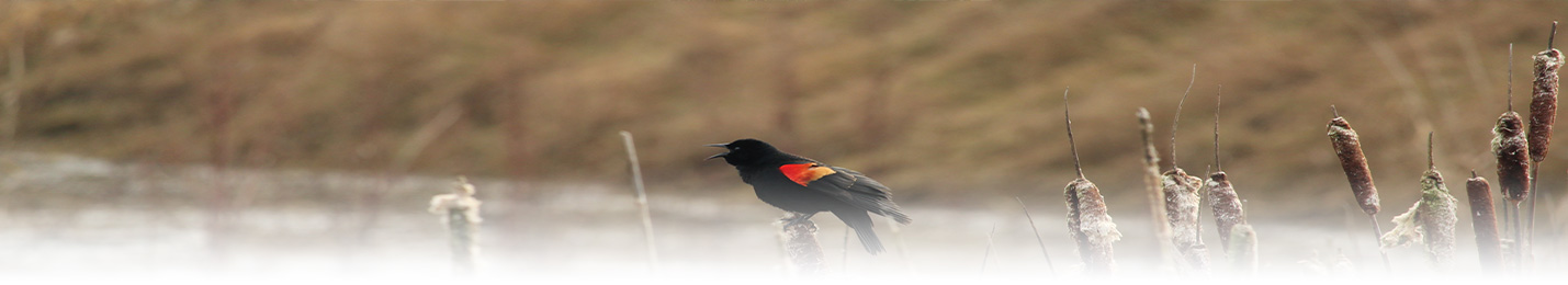 blackbird_marsh_header2